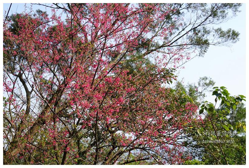 台北景點推薦大同山櫻花林03804