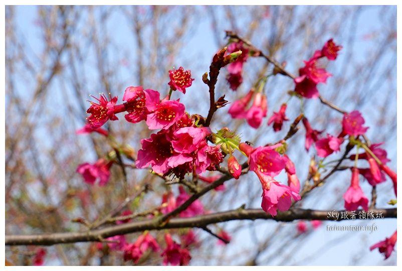 台北景點推薦大同山櫻花林03815