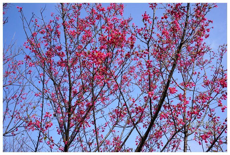 台北景點推薦大同山櫻花林03848