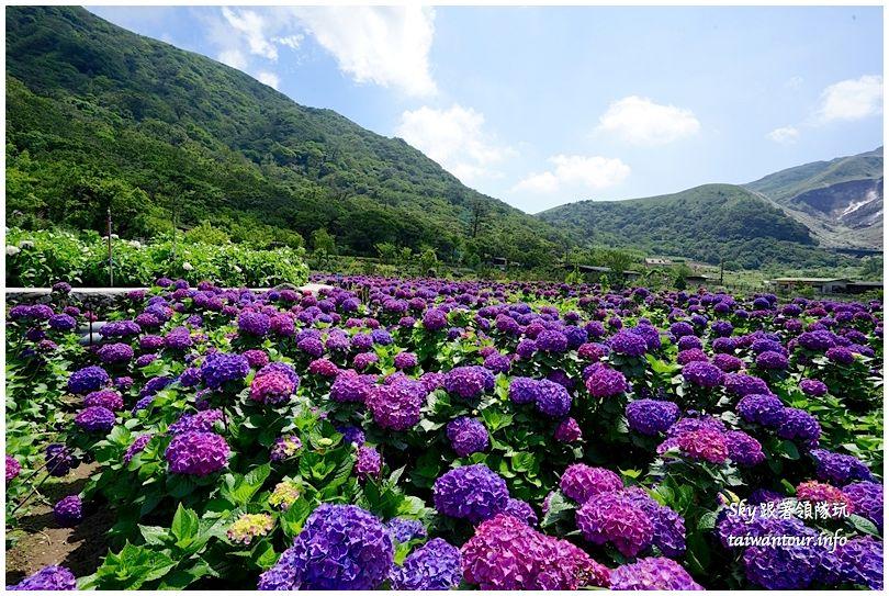陽明山竹子湖繡球花大賞園DSC02731