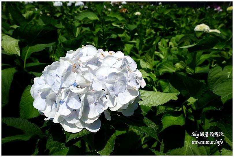 陽明山竹子湖繡球花大賞園DSC02751