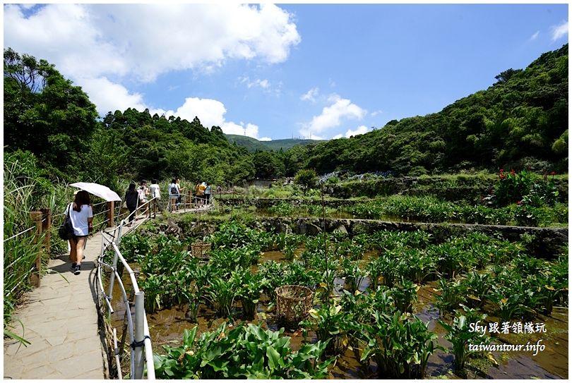 陽明山竹子湖繡球花DSC02867