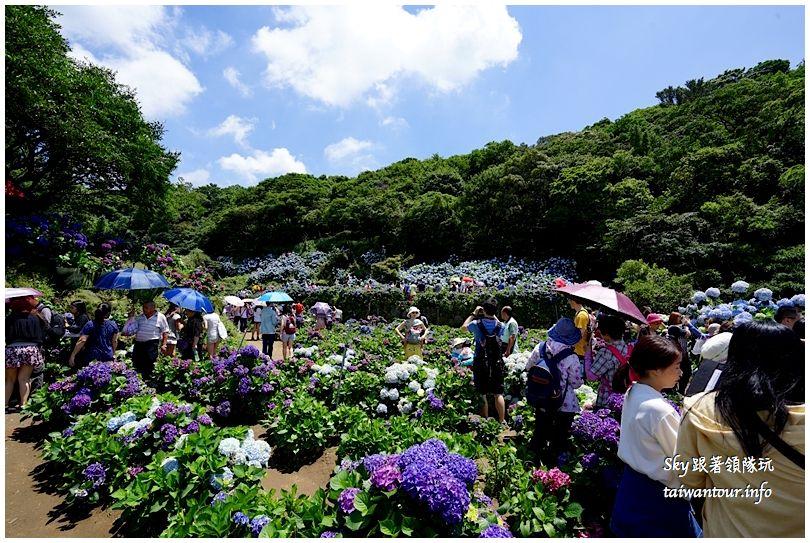 陽明山竹子湖繡球花DSC02870