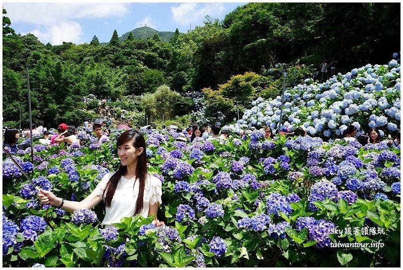 陽明山竹子湖繡球花DSC02887