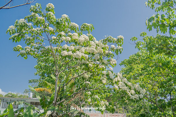 【新竹縣輕親旅行】春之紫藤.油桐花浪漫美食一日遊