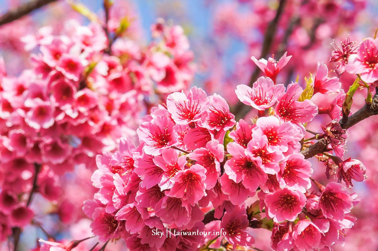 2021【全台櫻花祭行程】推薦景點.秘境.美食.懶人包